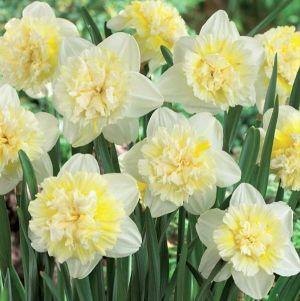 Ice King Double Daffodil
