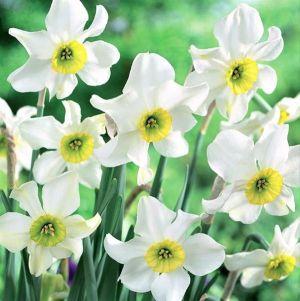 Sinopel Daffodil