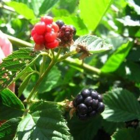 Natchez Blackberry Bush