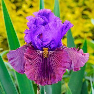 Nelly Tardivier Tall Bearded Iris