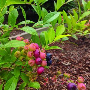 Nocturne Blueberry Bush