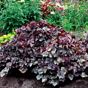 NORTHERN EXPOSURE™ Silver Coral Bells