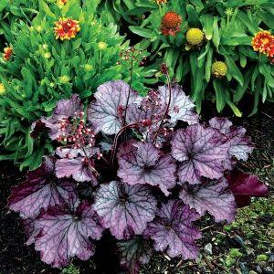 NORTHERN EXPOSURE™  Purple Coral Bells