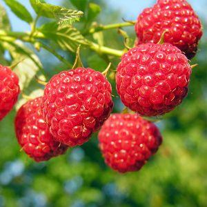 Nova Raspberry Bush