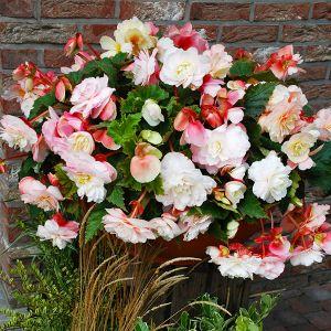 Odorata Red and White Begonia