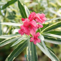 Twist Of Pink Oleander Tree Form