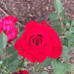 Opening Night Rose