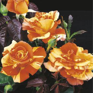 Oranges 'n' Lemons™ Rose