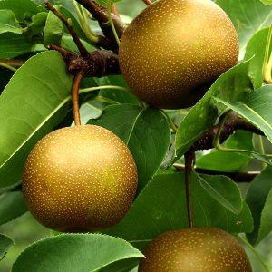 Oriental Asian Pear