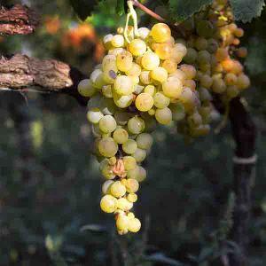 Osceola Grape Vine