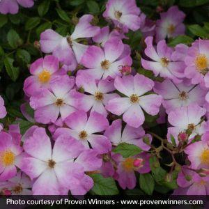 Oso Easy® Fragrant Spreader Groundcover Rose