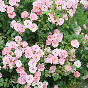 Oso Happy® Petit Pink Rose