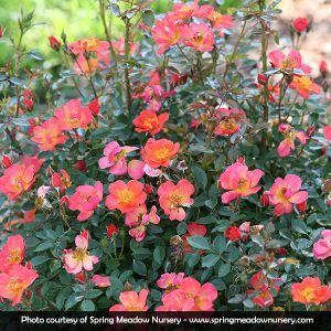 Oso Easy® Hot Paprika® Rose