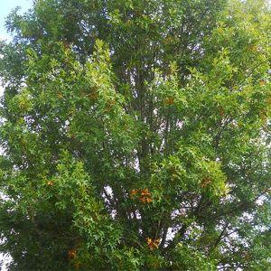 Pacific Brilliance™ Pin Oak