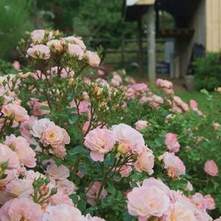 Peach Drift® Rose Tree