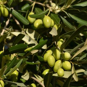 Pendolino Olive Tree