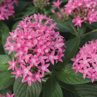 Penta Butterfly Deep Pink