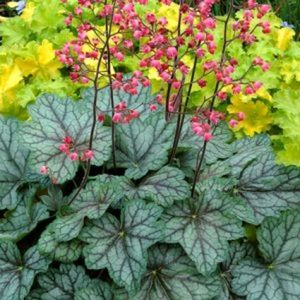 Peppermint Spice Coral Bells