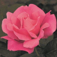 Perfume Delight Rose