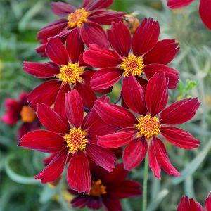 PERMATHREAD™ Red Satin Coreopsis