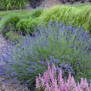 Phenomenal French Lavender
