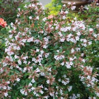 Pink Abelia