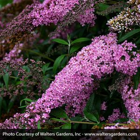 Pink Cascade Butterfly Bush