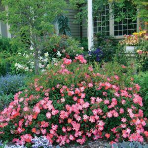 Pink Drift® Groundcover Rose