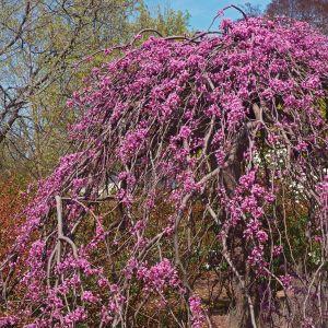 Pink Heartbreaker Weeping Redbud Tree