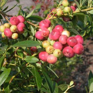 Pink Lemonade Blueberry Bush