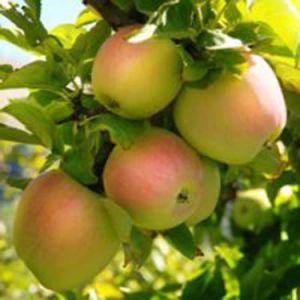 Pink Pearl Apple Tree