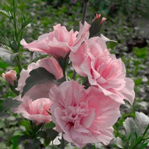 Pink Chiffon® Rose of Sharon Tree Form