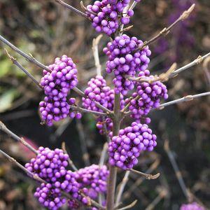 Plump & Plentiful™ Lilac Beautyberry