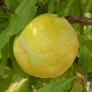 Flavor Queen Pluot Tree
