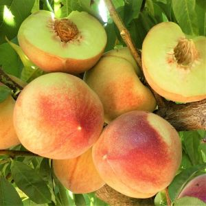 Polly White Peach Tree