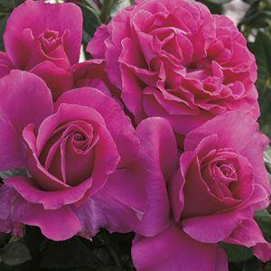 Pretty Lady™ Rose Tree