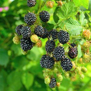 Prime-Ark® 45 Blackberry Bush