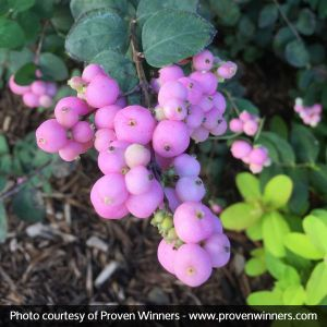 Proven Winners® Color Choice® Proud Berry® Coral Berry