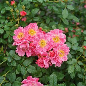 Color Choice® Oso Easy® Pink Double Rose