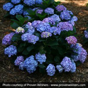 Let's Dance® Blue Jangles® Reblooming Hydrangea