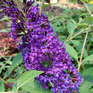 First Editions® Psychedelic Sky™ Butterfly Bush