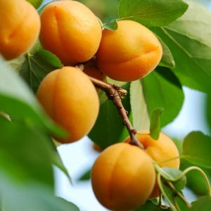Puget Gold Apricot Tree