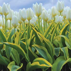 Purissima Blonde Tulip