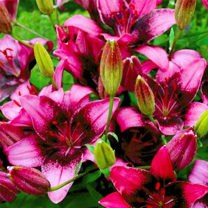 Purple Dream Lily