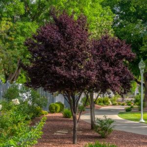 Purple Pony Plum Tree