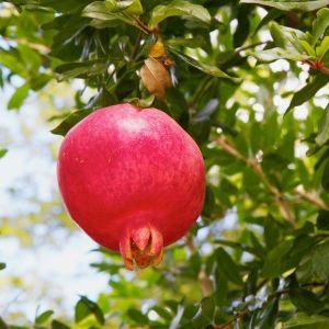 Purple Heart (Sharp Velvet) Pomegranate Tree