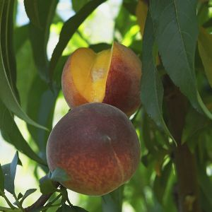 Queencrest Peach Tree