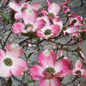 Radiant Rose™ Chinese Dogwood