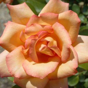 Rainbow Sorbet Rose Tree
