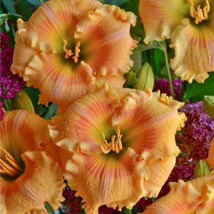 Rainbow Rhythm® Orange Smoothie Daylily